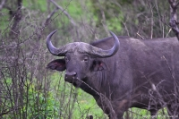 Buffel in Hluhluwe-Imfolozi Game Reserve / Copyright © JTravel.nl