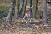 Een damhert in de Amsterdamse Waterleidingduinen op 9 april 2015 / Copyright © JTravel.nl