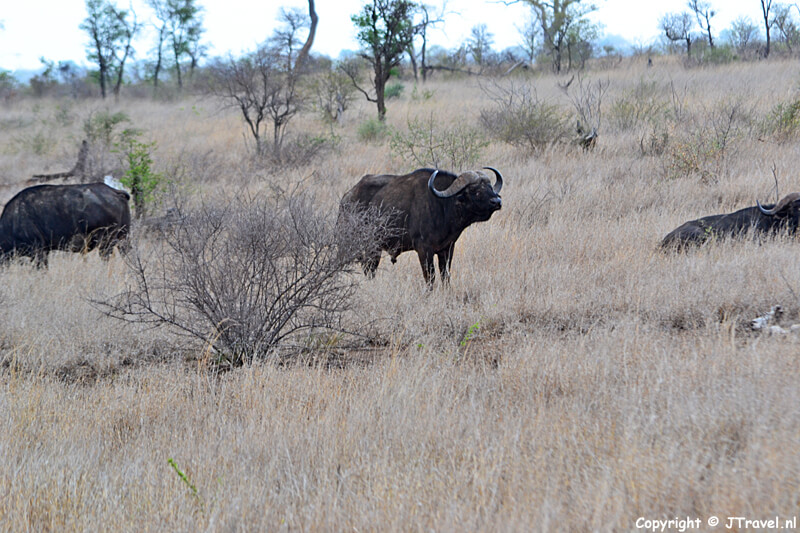 Buffels in het Kruger National Park