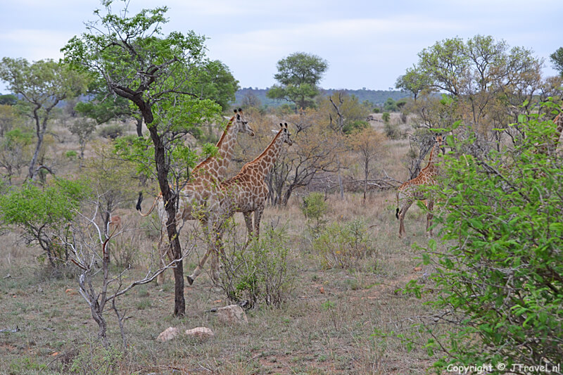 Giraffes in het Kruger National Park