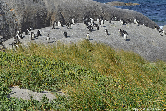 Afrikaanse pinguins in Boulders Beach / Copyright © JTravel.nl