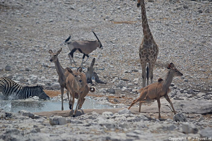 Kudu's bij de waterplas in Etosha National Park