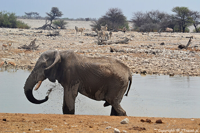 Olifant bij de waterplas in Etosha National Park
